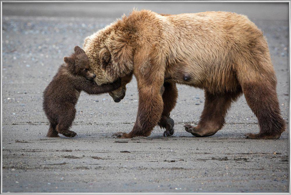 A Little Bear Hug - Renee Doyle Poster in Aluminium Frame