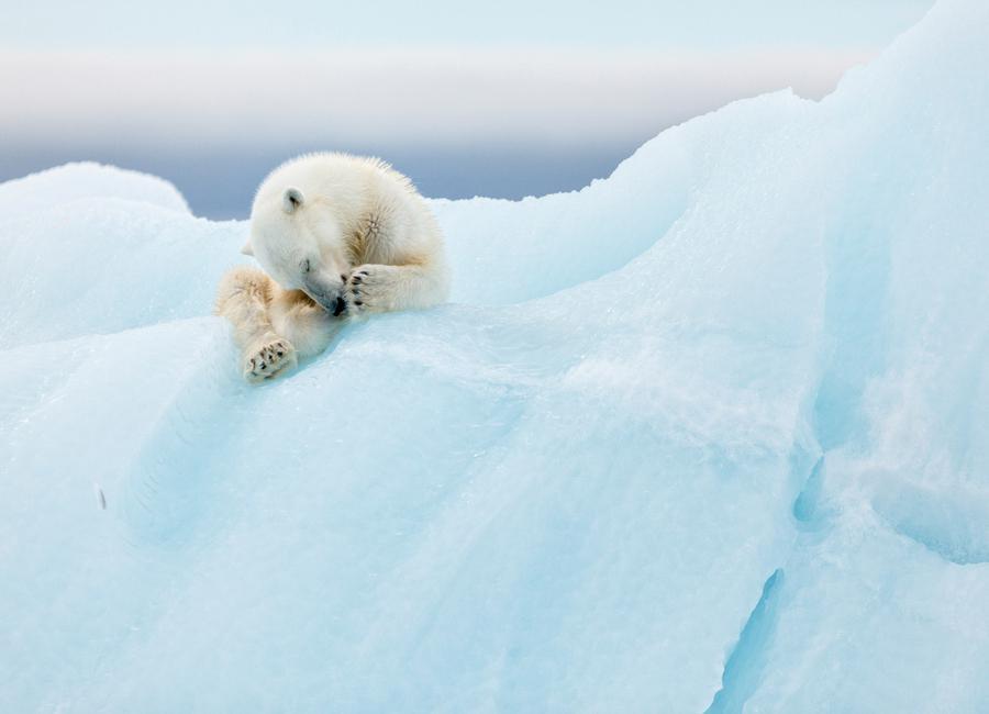 Polar Bear Grooming - Joan Gil Raga -Leinwandbild