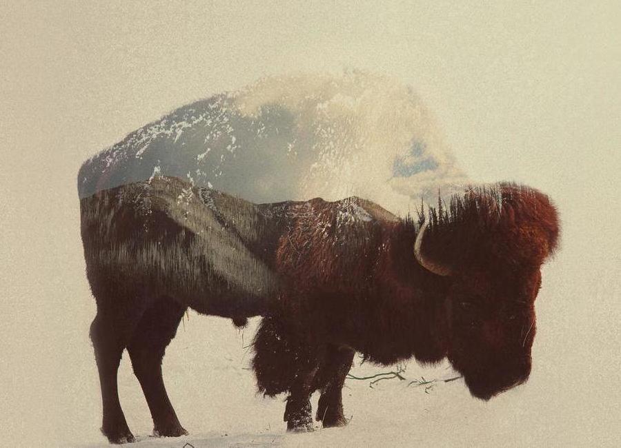 Buffalo -Leinwandbild
