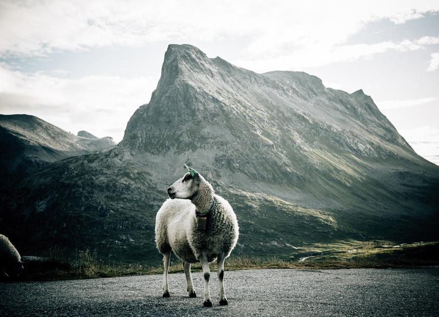 Sheep 1 -Leinwandbild