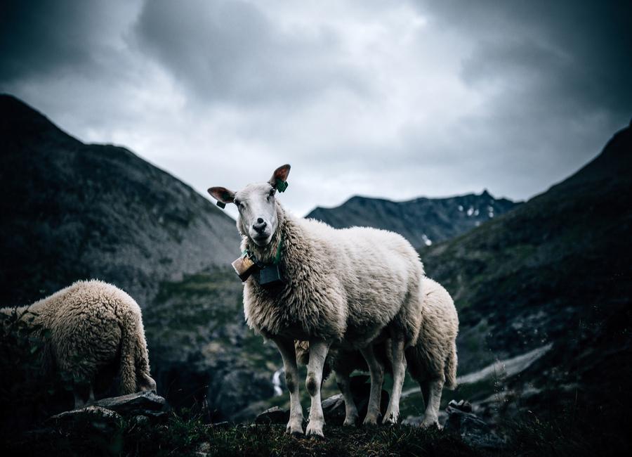 Sheep 2 -Leinwandbild