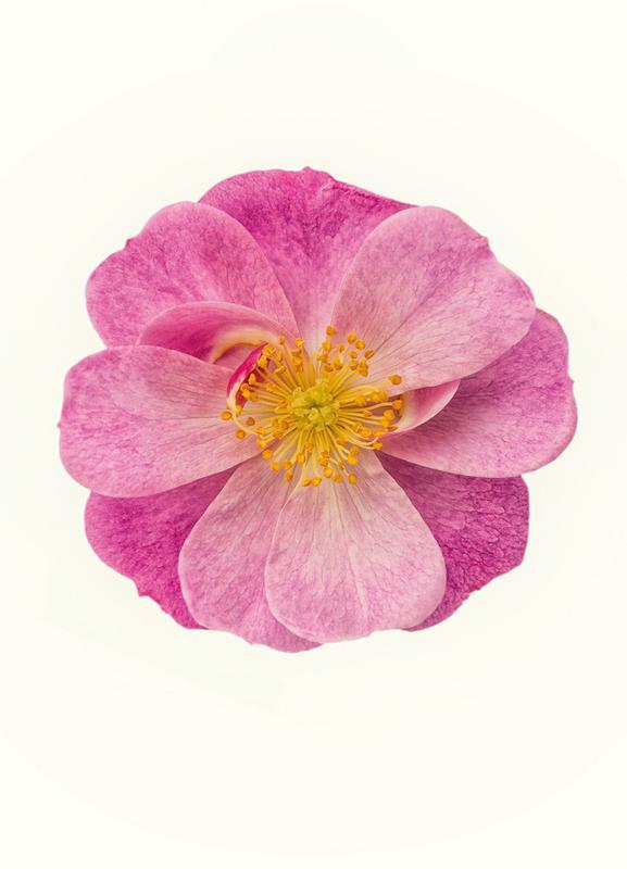 Single Wild Pink -Leinwandbild
