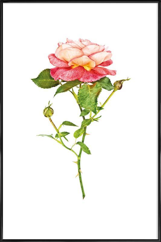 Rose 2 Framed Poster