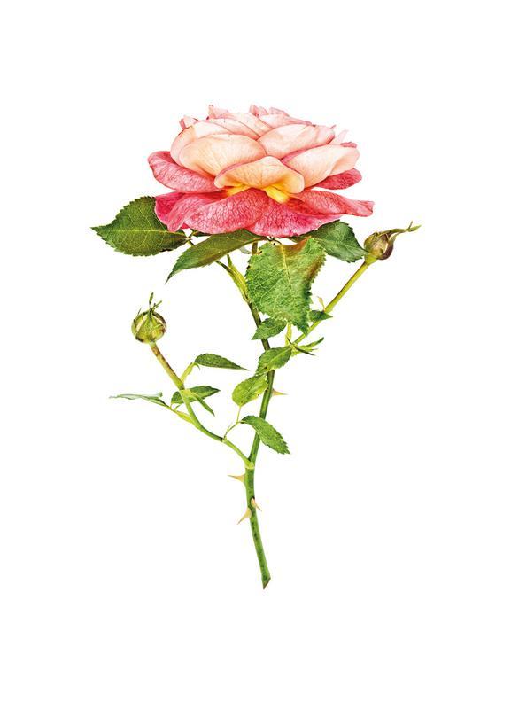 Rose 2 -Leinwandbild