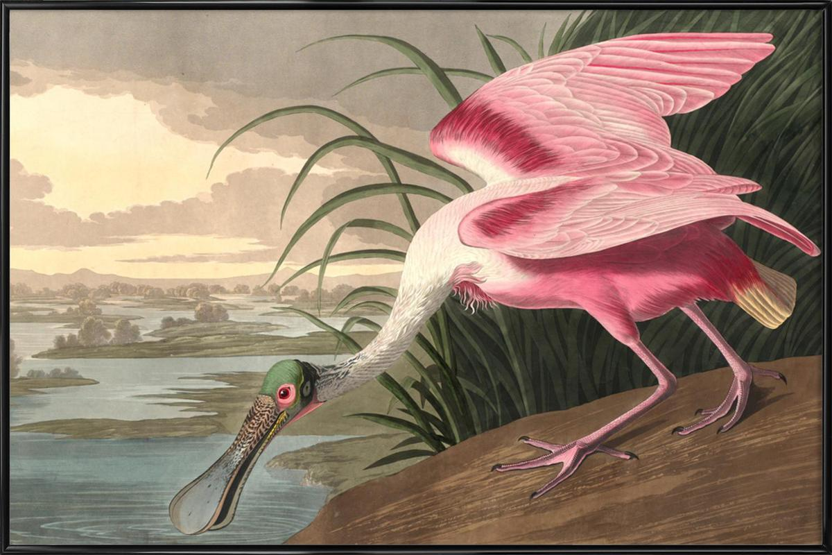 Roseate Spoonbill (by List Collection) Framed Poster