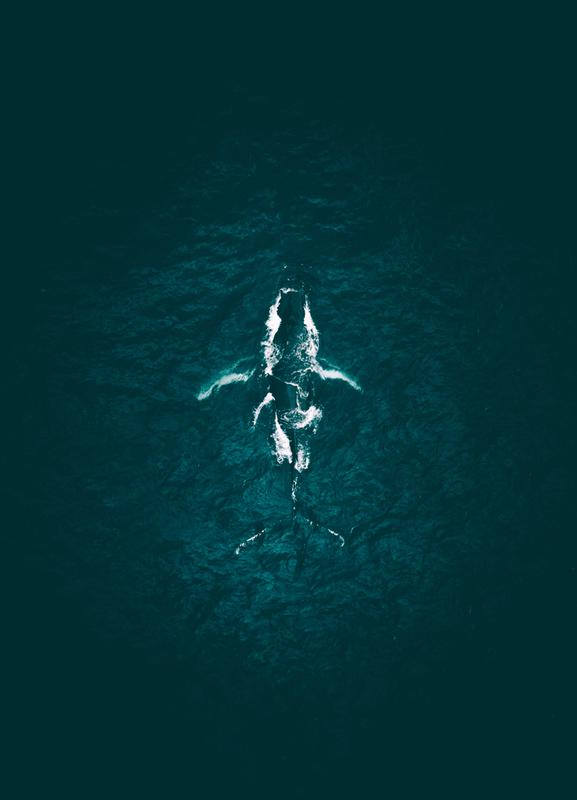 Humpback Breach -Leinwandbild