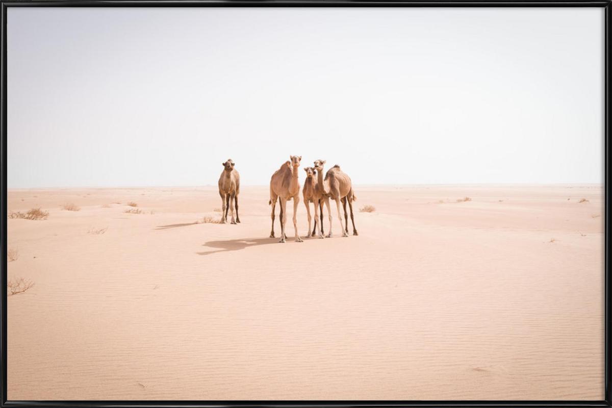 Camels Sahara -Bild mit Kunststoffrahmen