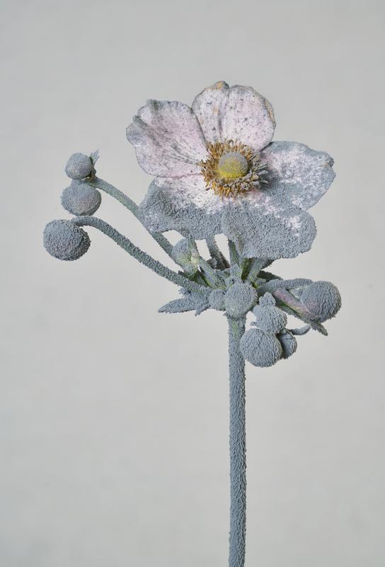 Staub Japanische Anemone Alu Dibond Druck | Dekoration > Bilder und Rahmen > Poster | Mehrfarbig | Aluminium