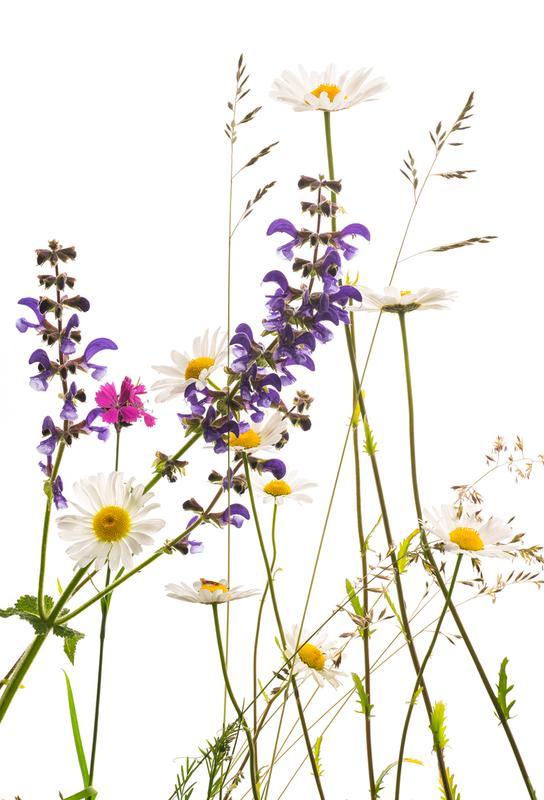 Flora - Margerite alu dibond