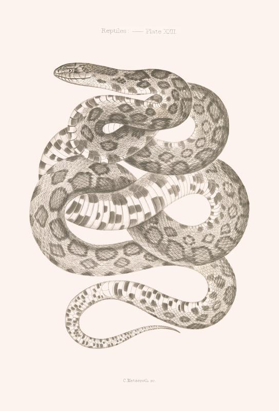 Reptiles - Plate XXII -Acrylglasbild
