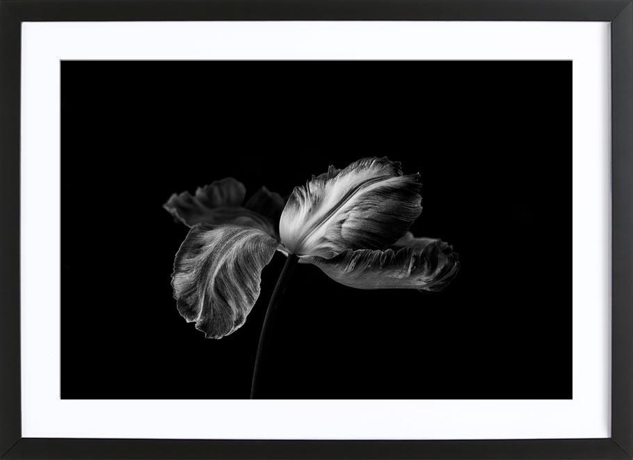Tulip In Mono Premium Poster gerahmt
