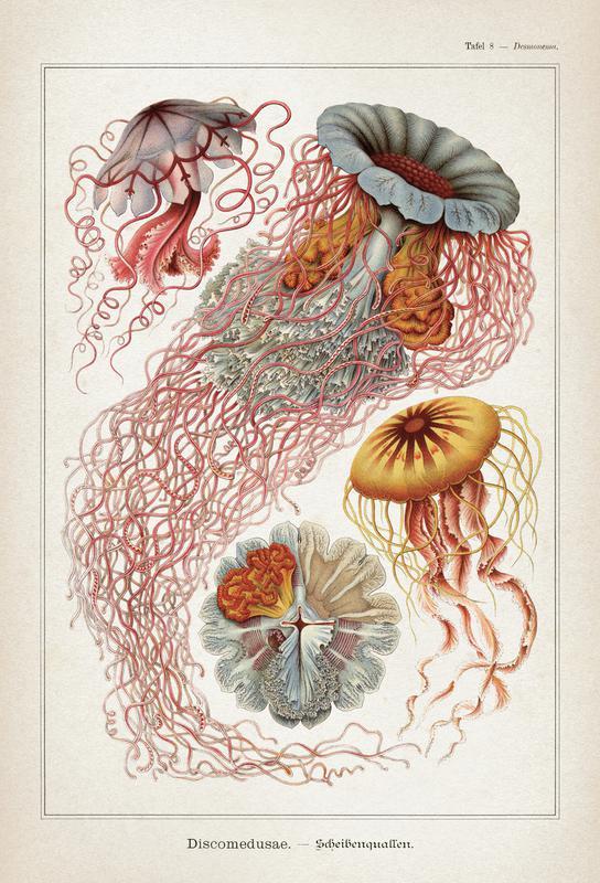 Tafel 8 Haeckel Alu Dibond Druck | Dekoration > Bilder und Rahmen > Poster | Mehrfarbig | Aluminium