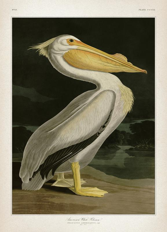 American White Pelican - Audubon Canvas Print