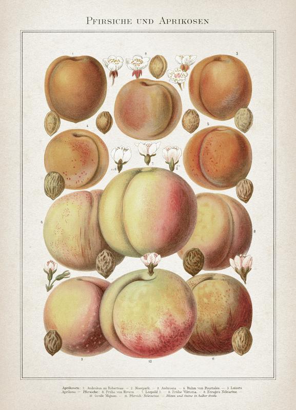 Pfirsiche und Aprikosen - Meyers canvas doek