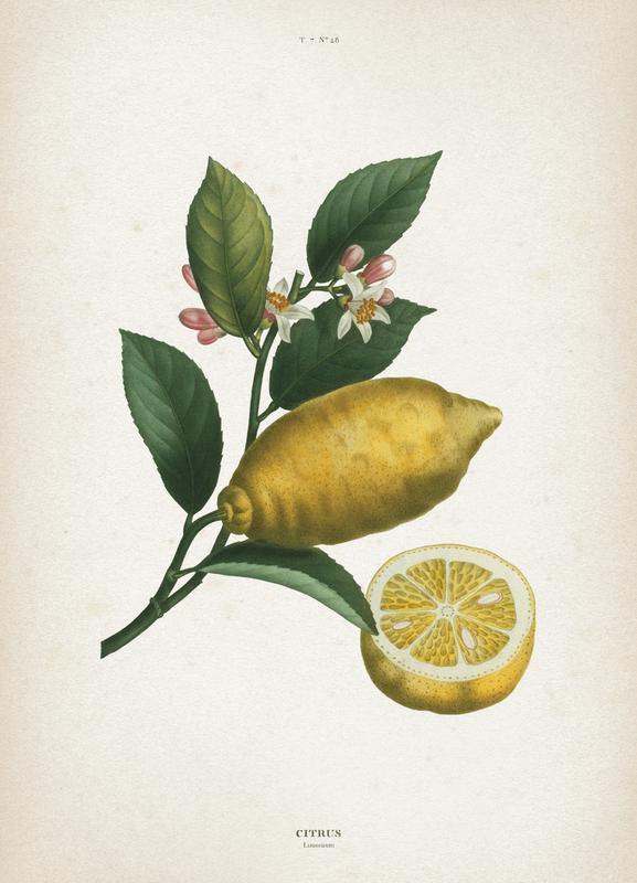 Citrus Limonium - Redouté canvas doek