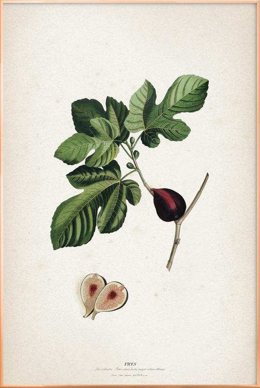 Ficus - Ehret Poster in Aluminium Frame