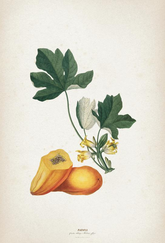 Papaya - Ehret -Alubild