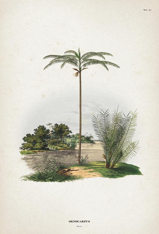 Oenocarpus Bataua - Martius -Alubild