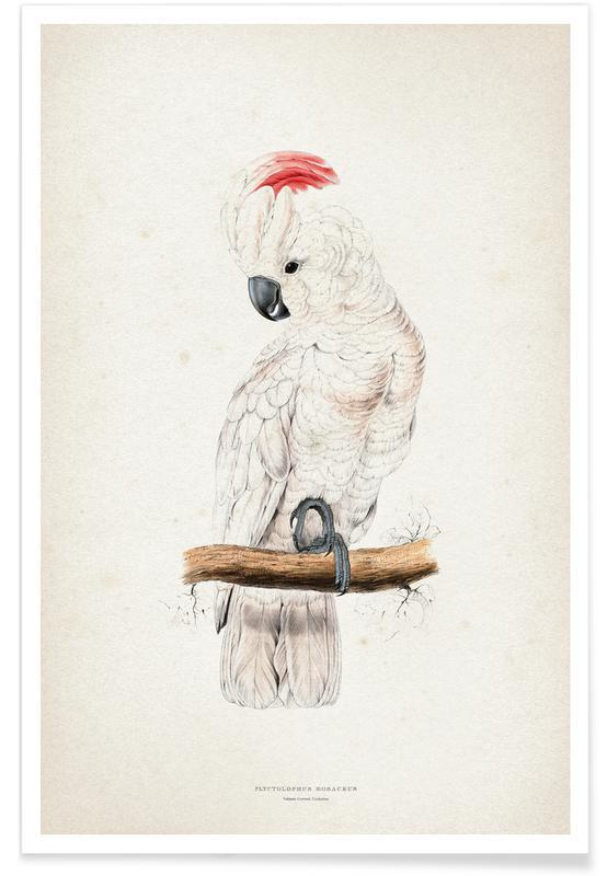 Plyctolophus Rosaceus - Lear Poster
