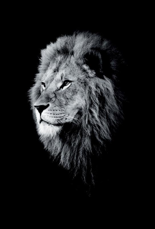 Dark Lion Head acrylglas print
