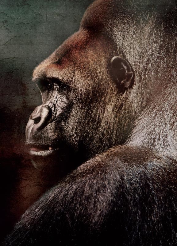 Vintage Gorilla -Leinwandbild