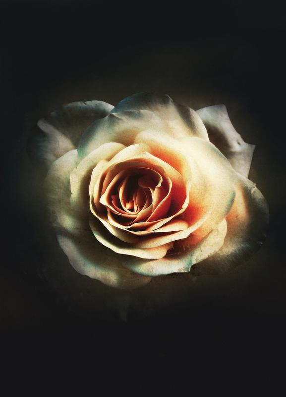 Faded Rose -Leinwandbild