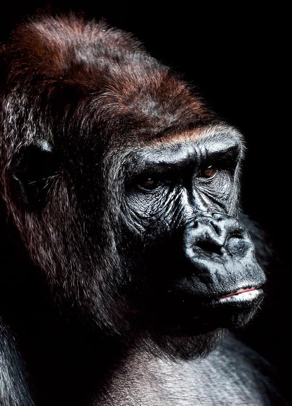 Dark Gorilla -Leinwandbild