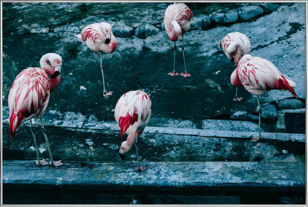 Flamingos by @esspeshal Poster in Aluminium Frame