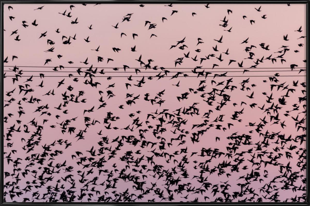Chaos in Bird Migration by @matthcon01 Framed Poster