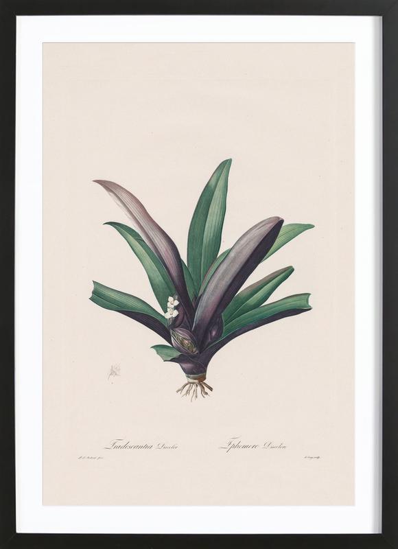 Tradescantia Discolour, 1802-1816 - Henry Joseph Redouté -Bild mit Holzrahmen