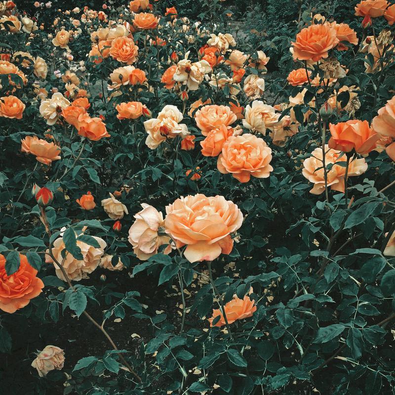 Forest of Roses -Leinwandbild