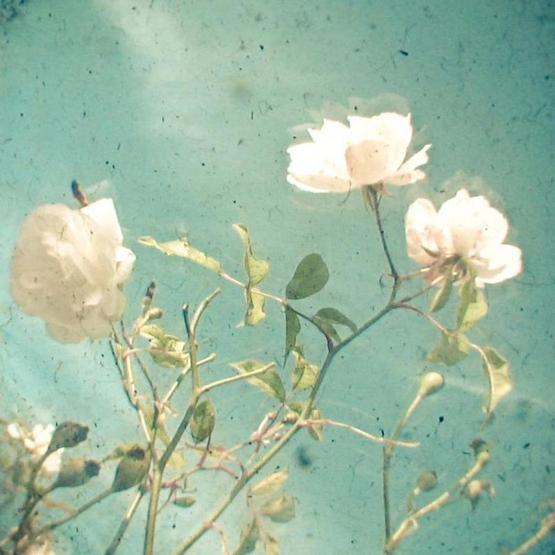 White rose -Leinwandbild